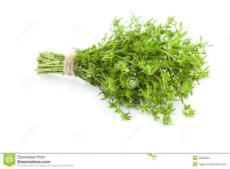 hanging bunches of fresh spicy herbs isolated on white bunch of fresh thyme herbs isolated on white stock photo