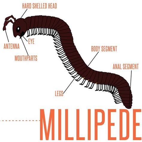 labelled diagram of a millipede do you about millipedes learn more about millipedes