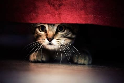 new cat hiding under bed keep your pet calm during bonfire night