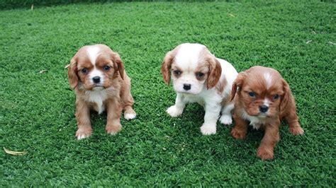 cavalier king in appartamento razze canine stanno guadagnando pi 249 popolarit 224 il