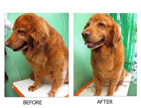 golden retriever trimmed 1000 images about golden retriever grooming on for dogs pets and brushes