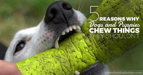 puppy chewing everything 5 reasons why dogs and puppies chew things they shouldn t