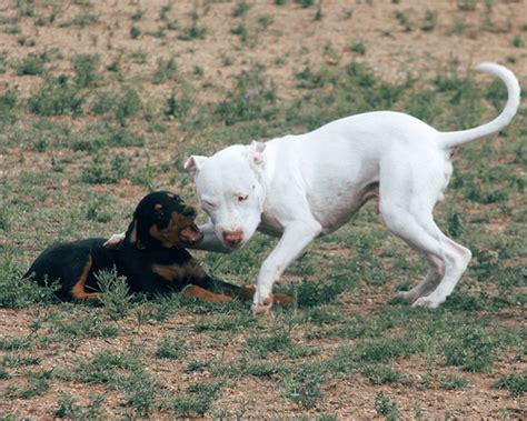 white rottweiler white rottweiler dogs