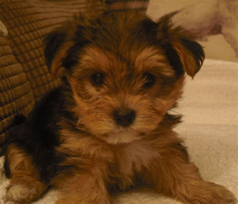 bishon yorkie terrier cross bichon frise puppies telford shropshire pets4homes