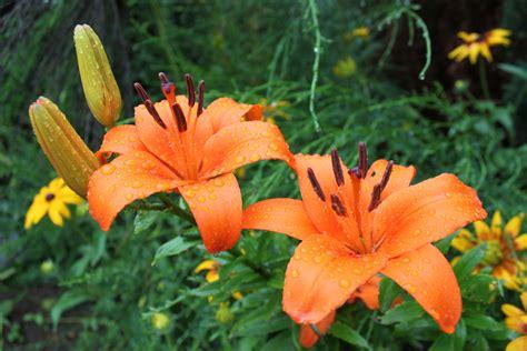 Lilie Garten Pflanzen by Garten Lilien Nach Einem Regenschauer Foto Bild
