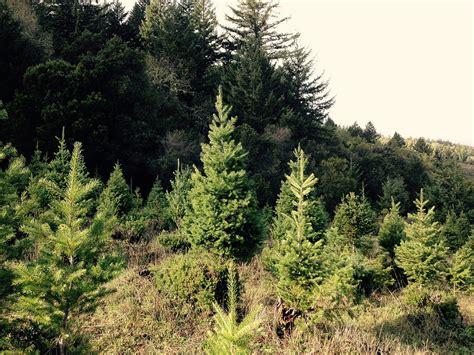 starting a christmas tree farm in maine wilderness