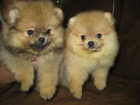 pomeranian poodle puppies for sale malaysia and puppy portal commercial puppies for sale local pomeranian