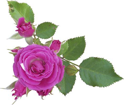 imagenes rosas sin fondo gifs de flores fondos de pantalla y mucho m 225 s