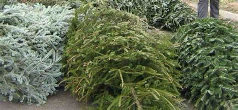 christmas tree collections in bristol by bristol city