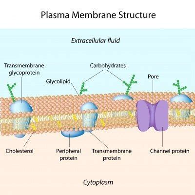 cell surface membrane permeability increase