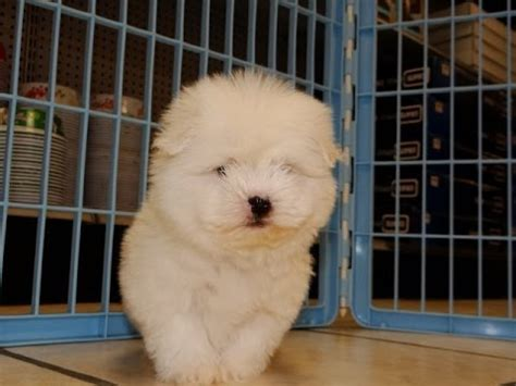 coton de tulear puppies for sale florida coton de tulear puppies for sale in carolina nc