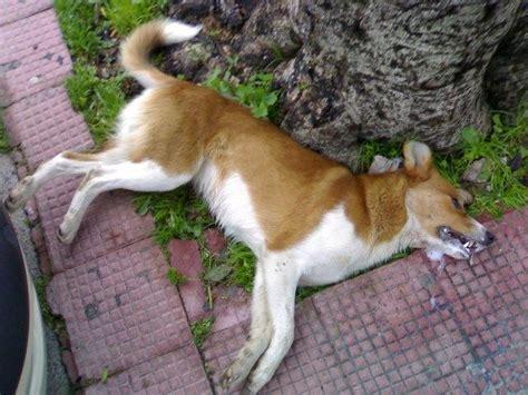 veleno per topi fatto in casa torre ruggiero cz rinvenute due carcasse di cani si