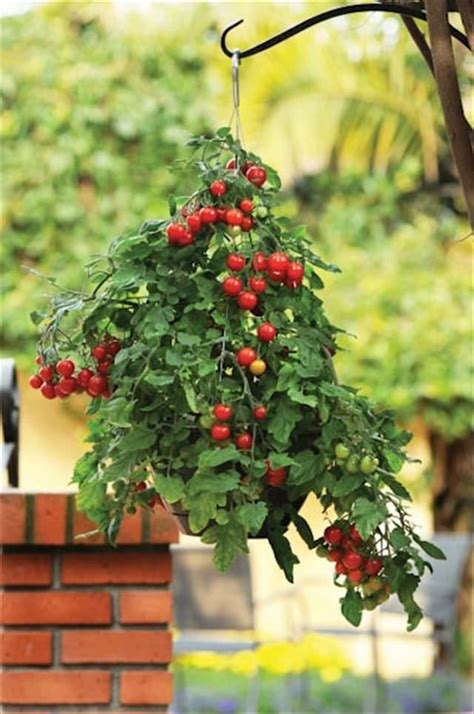 Hanging Plants For Patio by Best Plants For Hanging Baskets Balcony Garden Web