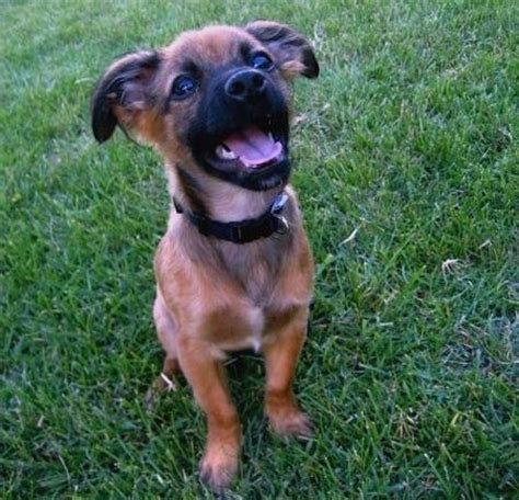 pomeranian german shepherd mix grown haired dachshund and chihuahua mix breeds picture