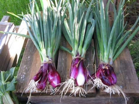 Bibit Daun Bawang Dataran Rendah cara membuat bibit bawang merah dengan umbi dan biji