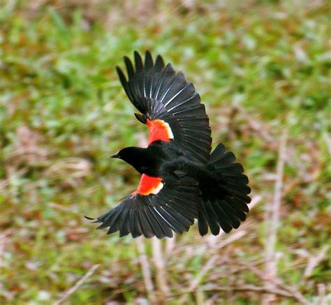 nw bird blog red winged blackbird