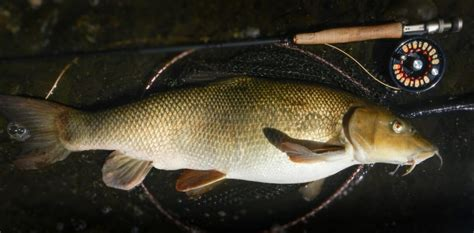 Barbel Second Fly For Coarse 2017 Winning Catches Stories Of The Year