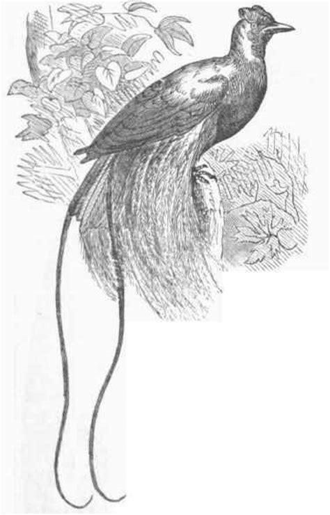 coloring pages bird of paradise free coloring pages of bird of paradise
