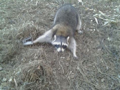 proof coon trap proof coon traps trapping only trapperman forums
