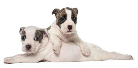 alimentazione amstaff cucciolo come educare un cucciolo di amstaff