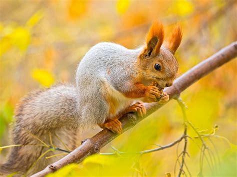 squirrel nut tree branches autumn wallpaper