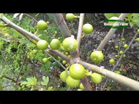 Bibit Pohon Zaitun Di Malang jenis buah tin yang sudah beredar di indonesia doovi