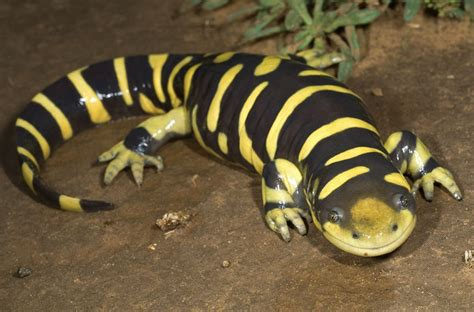 tiger salamander true wildlife creatures