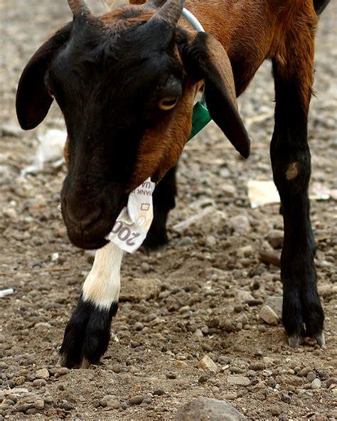 cerita adaptasi ekstrim kambing pulau bungin mongabaycoid