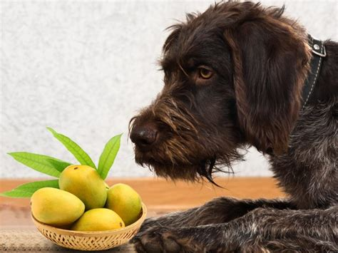 dogs mango can dogs eat mango organic facts