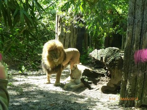 ingresso zoo di pistoia leoni foto di giardino zoologico di pistoia pistoia