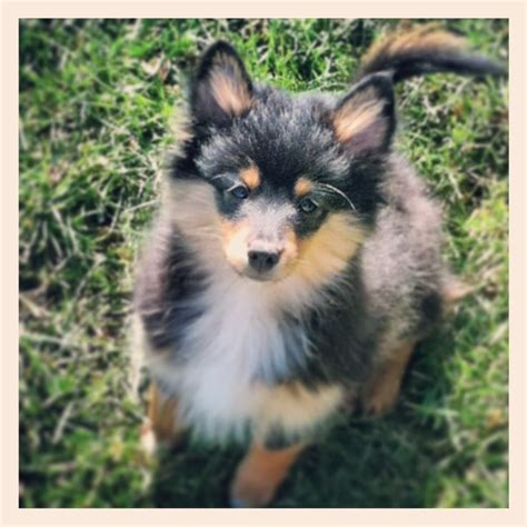 Gorgeous Sheltie Pomeranian Mix Puppy Animal