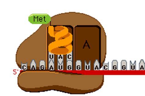 define cadena polipeptidica biologia2bachc traducci 211 n