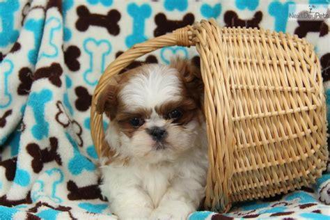 shih tzu near me shih tzu puppy for sale near lancaster pennsylvania 53517ec8 9631