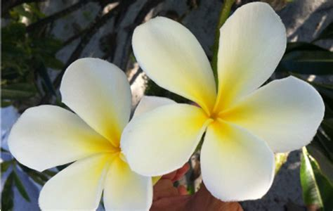 fiori polinesiani polinesia con bambini viaggio di nozze con bimbi nell