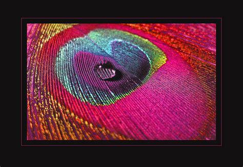 bild pfauenfeder pfauenfeder foto bild natur makros natur kreativ