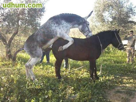 burros con yeguas burro para cubricion