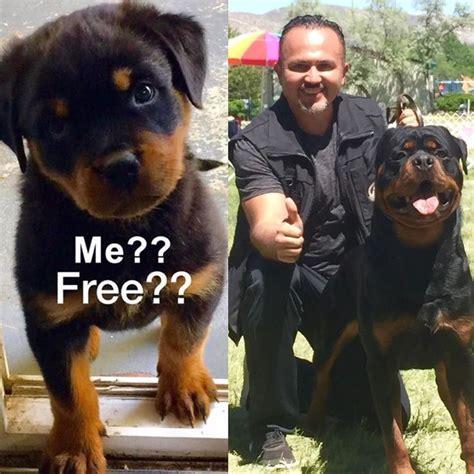 free puppies orange county 25 best ideas about rottweiler breeders on german rottweiler puppies