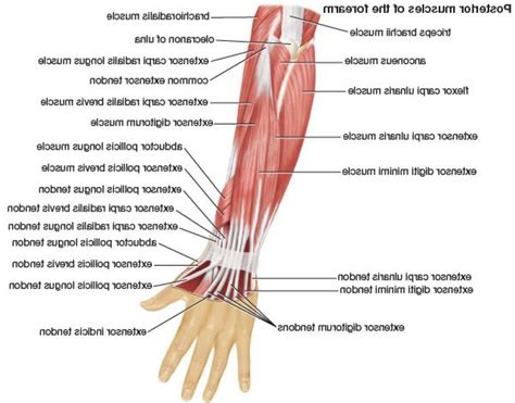 muscles of diagram diagram of forearm muscles anatomy human library