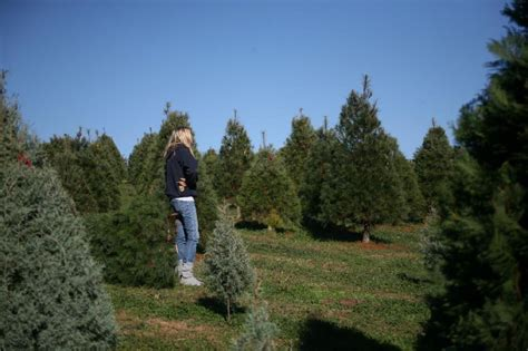 best nc christmas tree farm where to choose and cut your own tree near nc