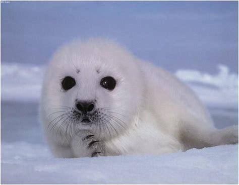 Nigel Barkers Saving Baby Seals While Waiting For His Own by Calling All Chefs Save Baby Seals Boycott Canadian