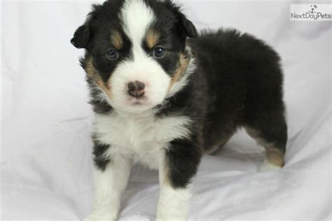 mini american shepherd puppies miniature american shepherd puppy for sale near charleston west virginia b907887a 9f51