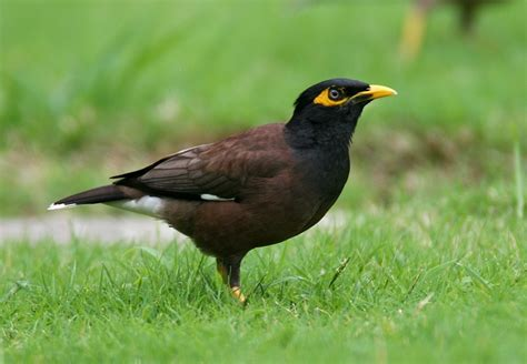 birds free wallpaper 99 common myna