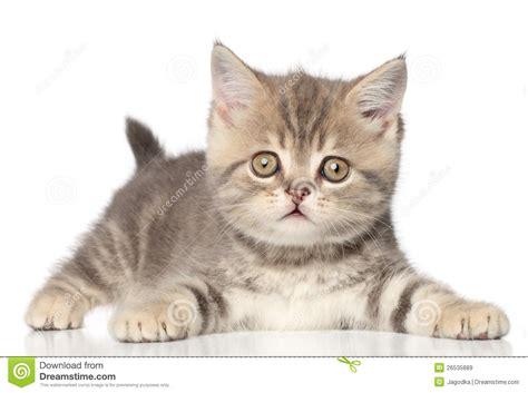 scottish straight kitten stock image image  breed