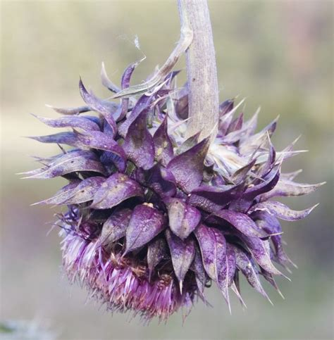 thistle color 1000 images about color crush purple thistle on