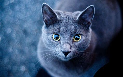 blue cats beautiful cats wallpaper hd for desktop best collection