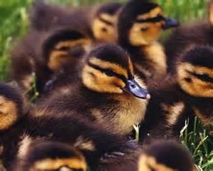 How Do Baby Ducks Need A Heat L by Animal Emergencies Wildside Rehabilitation Center