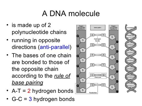 12 2 the structure of dna answers dna the molecule of heredity worksheet 4614 abitlikethis