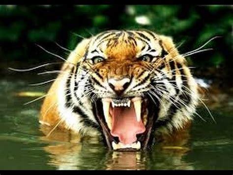 imagenes de animales carniboros 5 animales carn 237 voros m 225 s peligrosos del mundo youtube