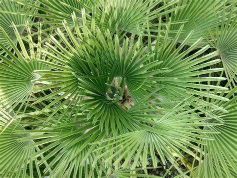 chamaerops humilis mediterranean fan palm tree identification chamaerops humilis mediterranean