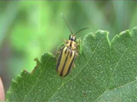 insetto nero volante coleottero giallo volante yellow flying beetle